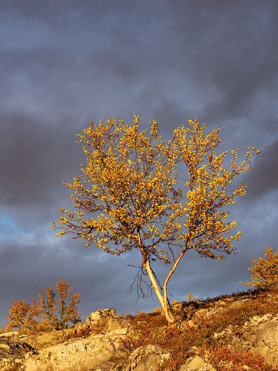 Een boom kleurt geel van de herfstzon in Rondane Noorwegen