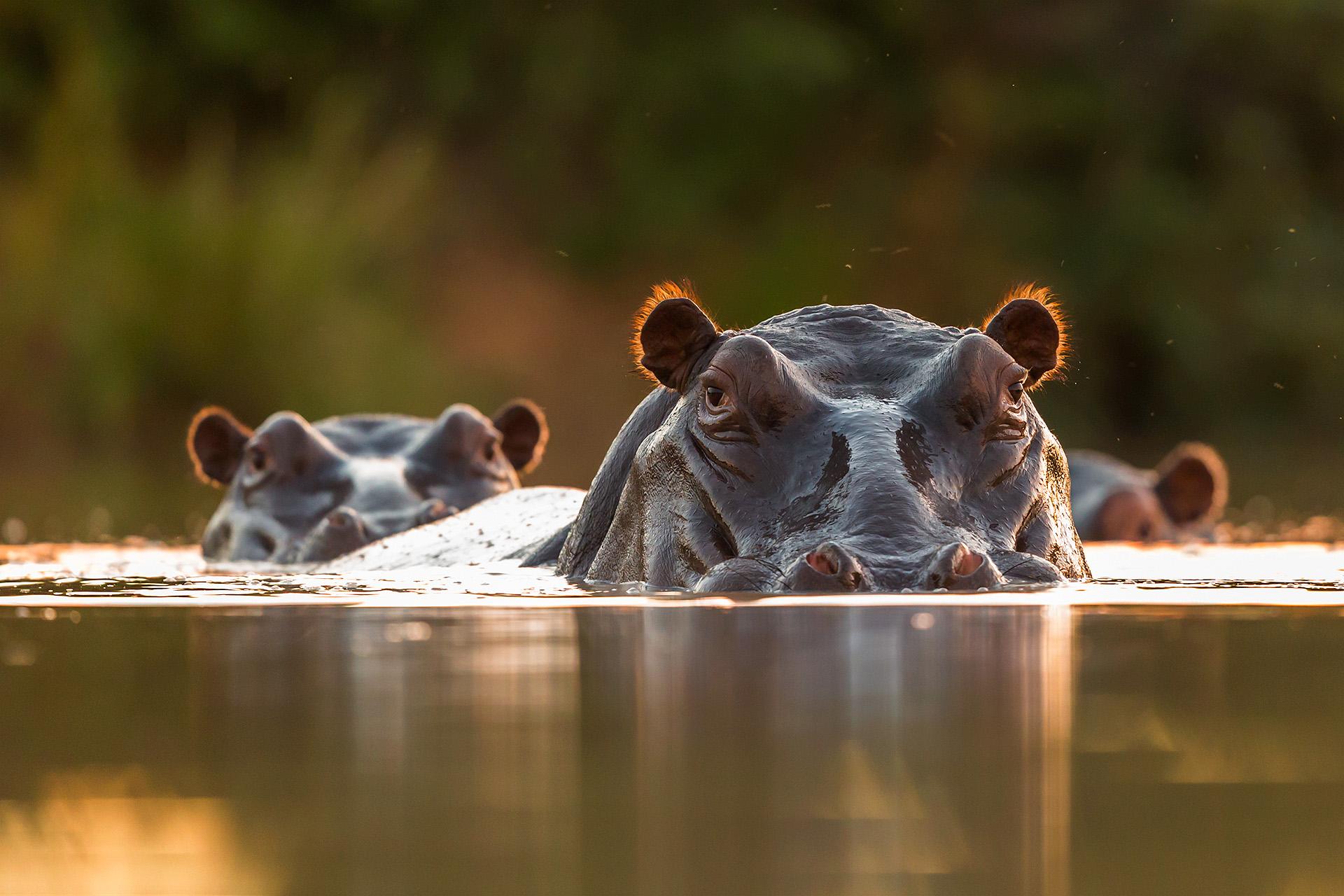 nijlpaarden wachten op de schemer om het water uit te komen om te gaan eten, hippos waiting for the darkness to get out of the water to start feeding on grass