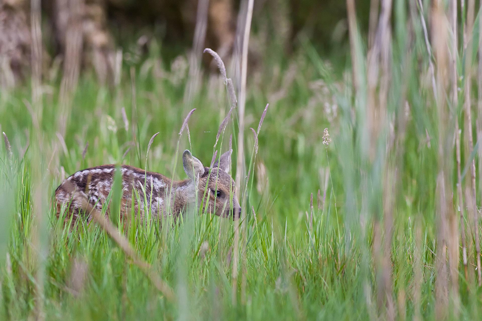 Reekalfje in het hoge gras, newborn roe deer hides between the grass