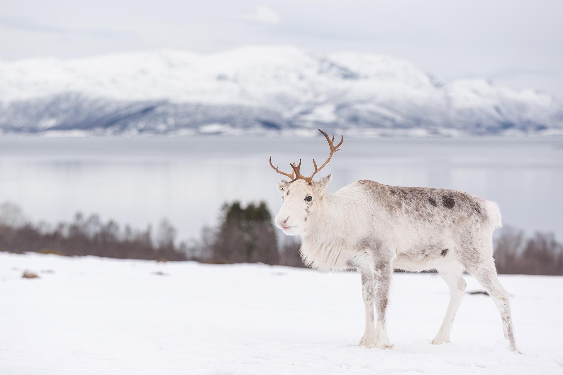 Vesteralen Noorwegen rendier Norway reindeer