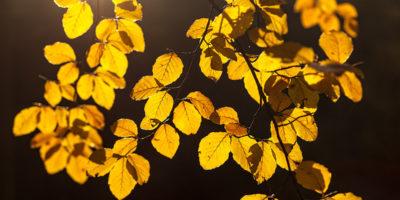 beuken in herfstkleuren; beech in autumn colors