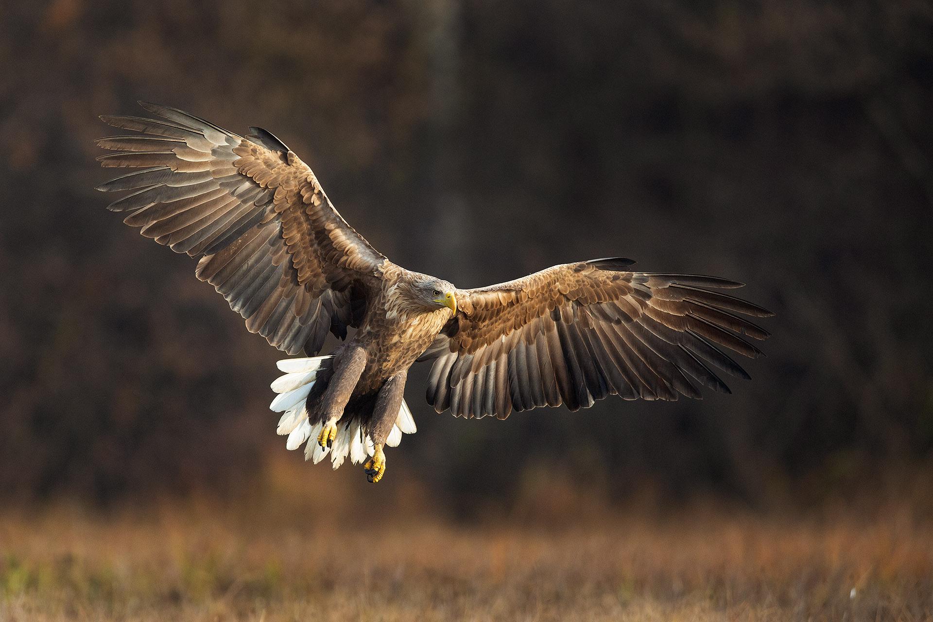 De zeearend is een indrukwekkende vogel. Zeker als je dichtbij bent en zo'n enorme vogel vlak voor je in een veldje neerstrijkt. Prachtig!