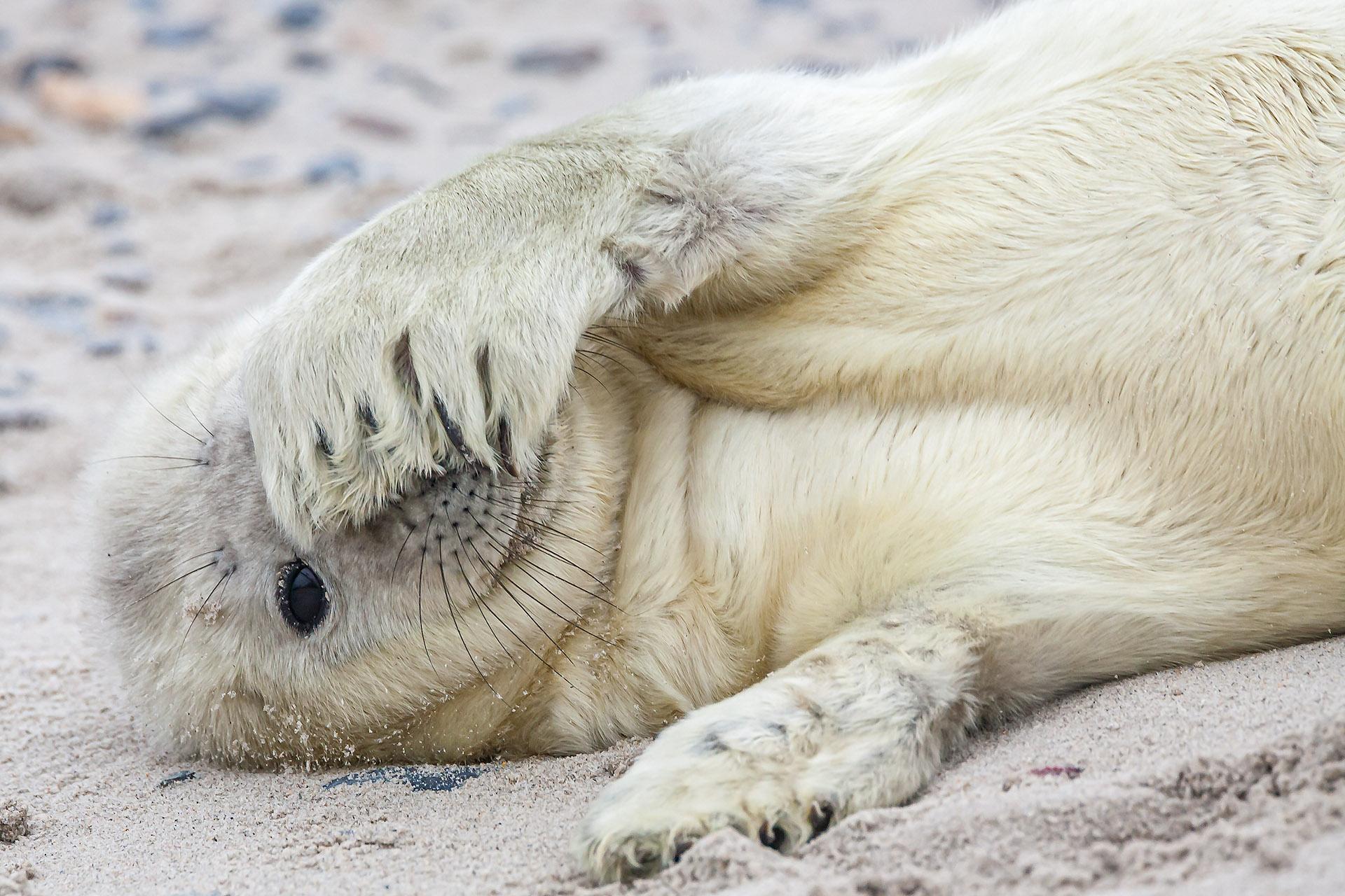 Zeehond pup op het strand van Helgoland Duitsland