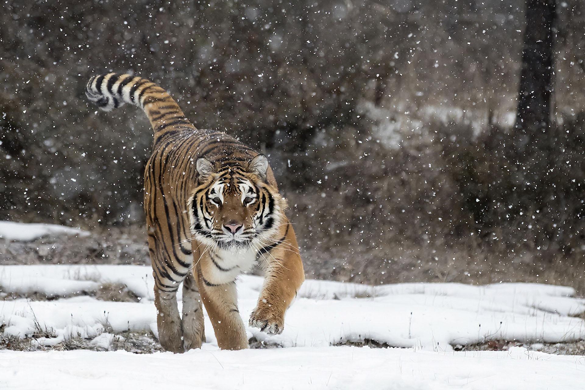 Siberische Tijger in de sneeuw. Montana Triple D Deist USA Amerika America